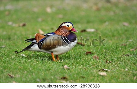 Mandarin Duck - stock photo