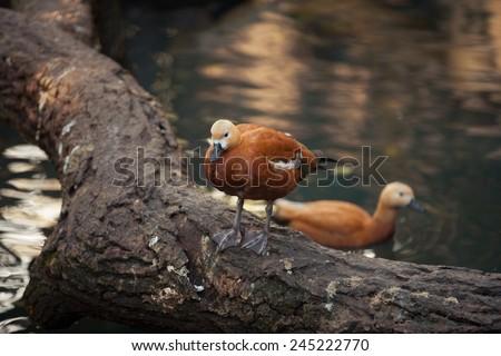 Mandarin duck/Aix galericulata - stock photo