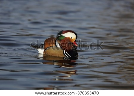 Mandarin duck (Aix galericulata) floats on water.