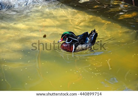 Mandarin duck at water