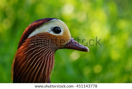 Mandarin duck drake close up by a lake in early summer.