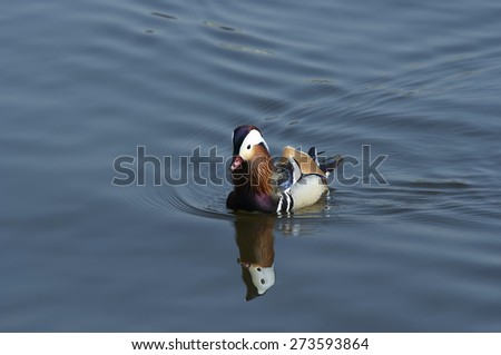 Mandarin duck floating on the water - stock photo