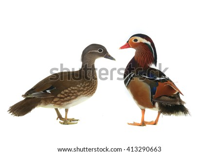 mandarin duck isolated on white background.
