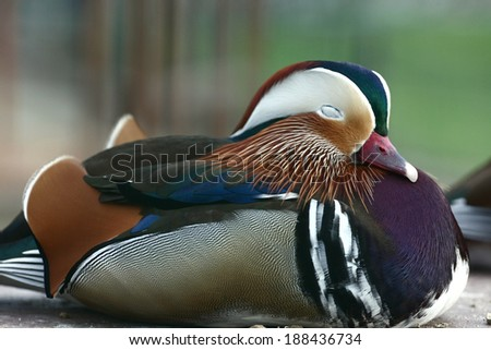 mandarin duck sleeping