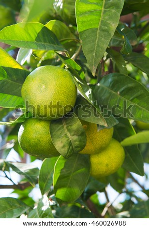 mandarin fruits on a tree