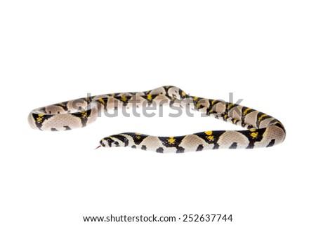 Mandarin Rat Snake isolated on white background. - stock photo