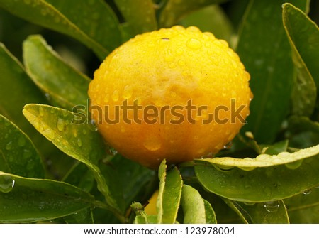 Mandarine fruit