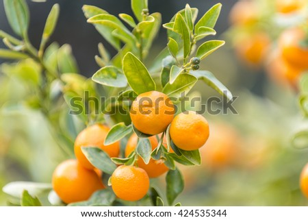 Mandarins oranges (Citrus reticulata) on the brench in the botanic garden of the Valencia University.  - stock photo