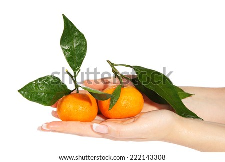 Mandarins with green leaves in the hands on the white background (Citrus reticulata)  - stock photo