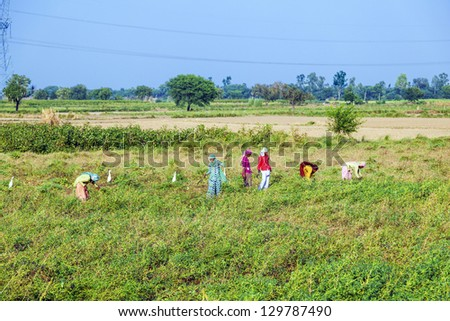 MANDAWA, INDIA - OCT 25: Unidentified woman cut the meadow and corn on October 22,2012 near Mandawa, India. In India women commonly do hard works like this especially in rural areas