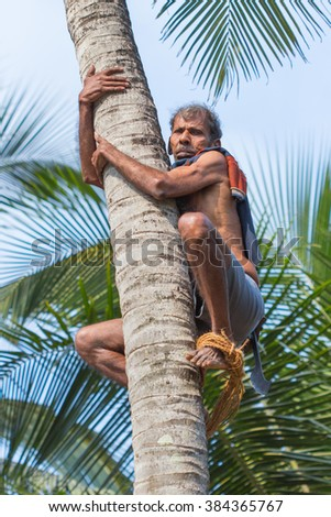 MANDREM, GOA, INDIA - MARCH 26, 2013: Unidentified Hindu with machete climbs a palm to cut off coconuts on March 26, 2013 in Goa.