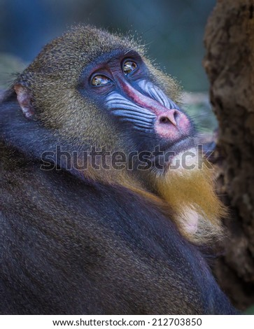 Mandrill baboon, looks toward camera showing detailed colors of his face - stock photo