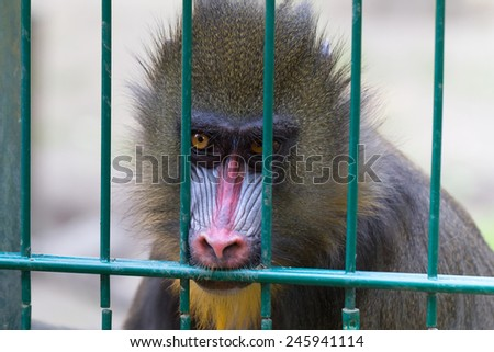 Mandrill monkey imprisoned in the zoo - stock photo