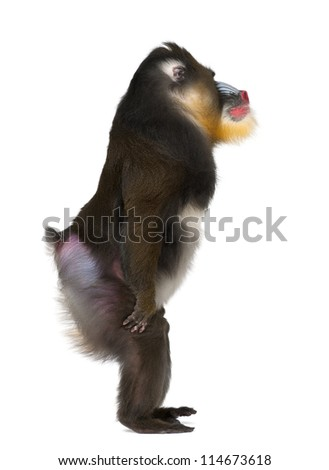 Mandrill standing, Mandrillus sphinx, 22 years old, primate of the Old World monkey family against white background