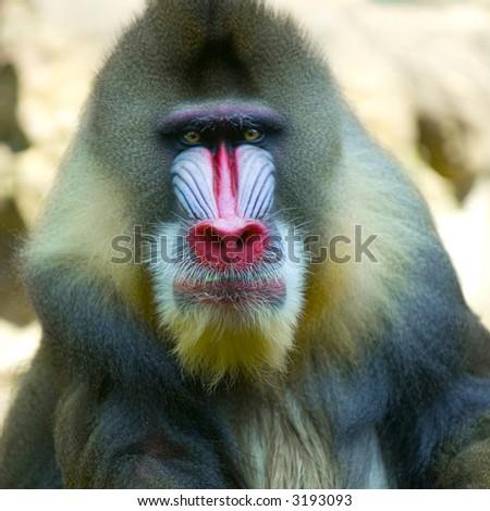 Mandrillus sphinx at the zoo - stock photo