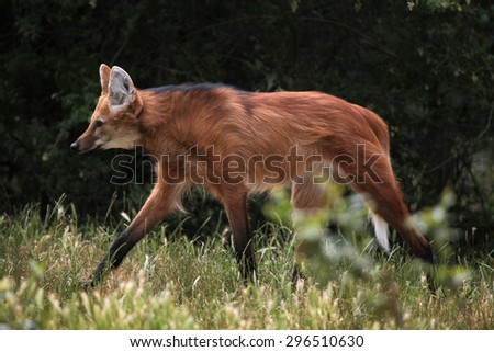 Maned wolf (Chrysocyon brachyurus). Wild life animal.  - stock photo