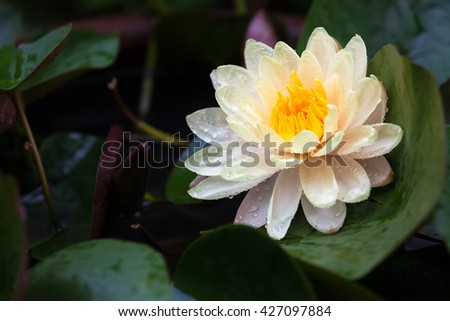 Mangkala Ubol Water Lily Blooming orange water lilys in the pond - stock photo