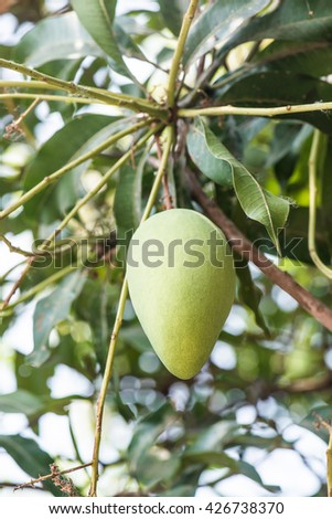 Mango fruit on the tree, Thailand