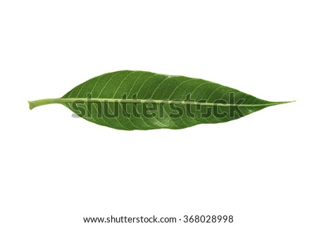 Mango leaf isolated on white background with clipping path