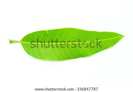 Mango leaves isolated on white background.