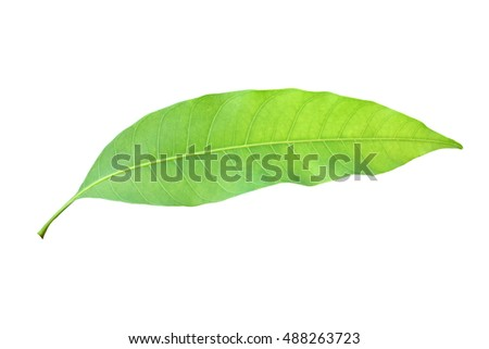 mango leaves isolated on white background