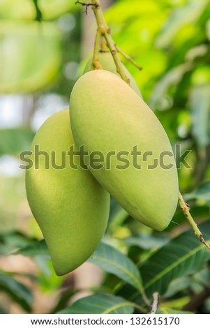 Mango on the tree in the garden