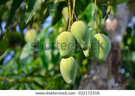 Mango On Thee Of Thailand Southeast Asia - stock photo