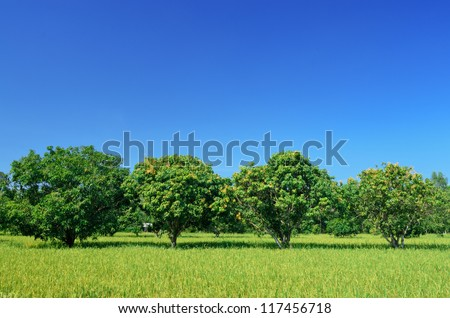 Mango trees with blue sky,Thailand