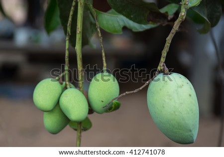 Mangoes bunch of the organic farm in Thailand, fresh growing green mango in the field, and close up background, fruit healthy foods.   - stock photo