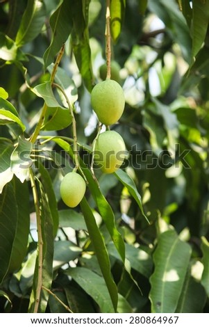 Mangoes hanging on the mango tree, selective focus