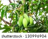 mangoes on mango tree - stock photo