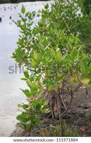 Mangrove - stock photo