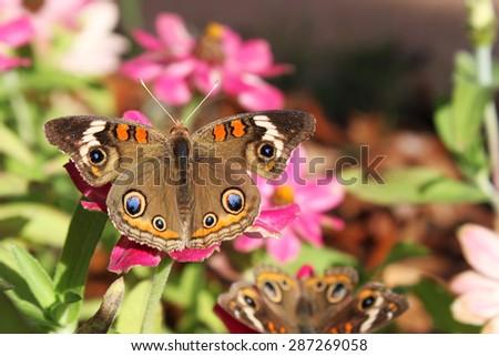 Mangrove buckeye butterfly on a zinnia flower - stock photo