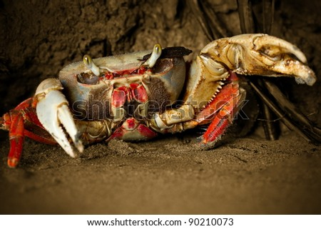 MANGROVE CRAB ATTACKING WITH HIS POWERFUL PLIERS  - stock photo