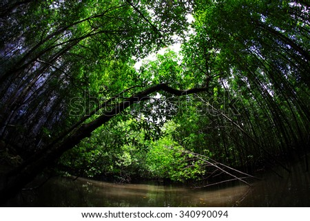 Mangrove forest - stock photo
