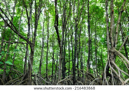 mangrove forest conservation area in rayong, thailand - stock photo
