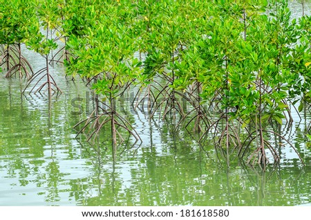 Mangrove forest in Thailand. - stock photo