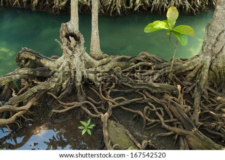Mangrove forest on the coast of Thailand