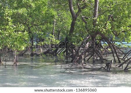 Mangrove forest. Thailand. Islands. - stock photo