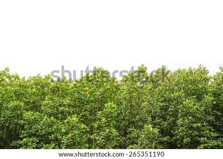 Mangrove forest with sky field - stock photo