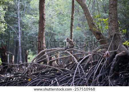 Mangrove forests with macaque monkey posing in Malaysia - stock photo