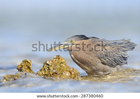 Mangrove Heron on Red Sea beech in Sharm el-Sheikh, Egypt - stock photo