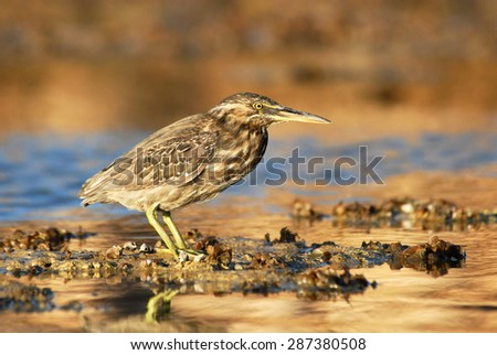 Mangrove Heron on Sinai beach coral reef - stock photo