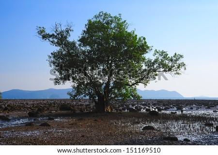mangrove on beach - stock photo
