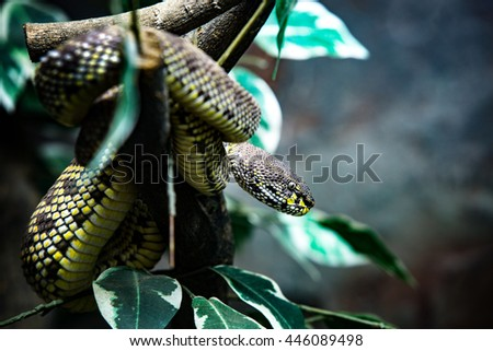 Mangrove pit viper looking to its victim. - stock photo