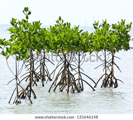 Mangrove plant in sea shore aerial roots - stock photo
