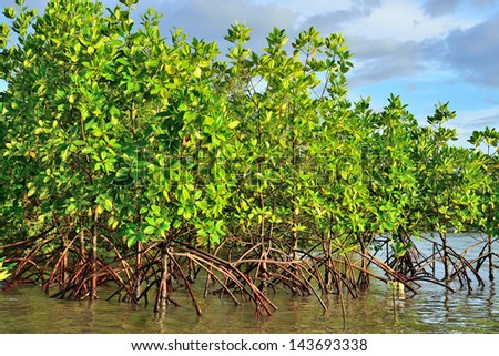 Mangrove plants growing in wetlands.protective earth connection from the storm. And breeding animals. - stock photo