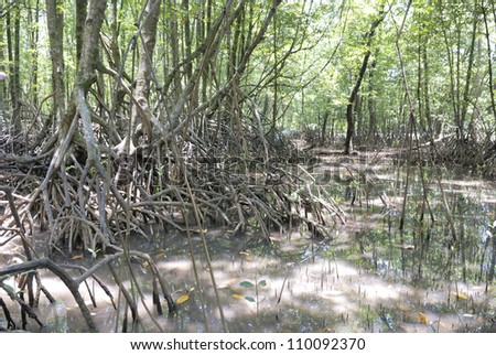 mangrove roots - stock photo