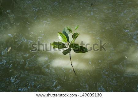 Mangrove seedlings. - stock photo