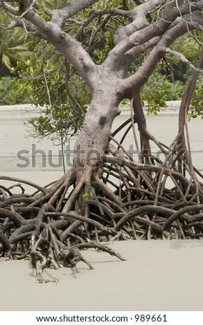 Mangrove standing in sand - stock photo